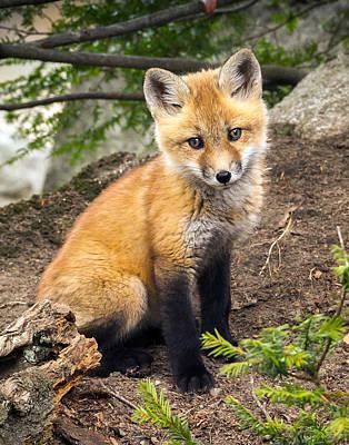 Photograph - Precious Fox Kit by John Vose