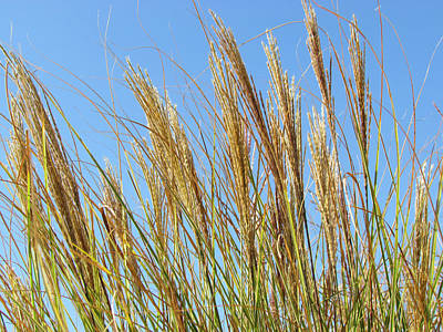 Photograph - Grains Of Grass In The Wind by Bonnie Muir