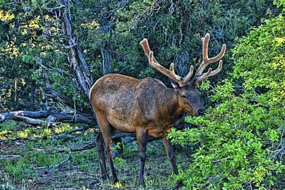 Photograph - Grand Canyon # 33 - Grazing Elk by Allen Beatty