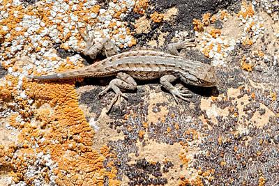 Photograph - Grand Canyon Lizard by Julie Niemela