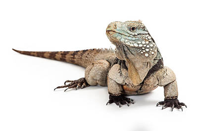 Animals Photos - Grand Cayman Blue Iguana Looking to Side by Good Focused