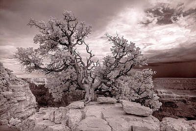 90285 Grand Cyn Pinon On Rock White Art Print