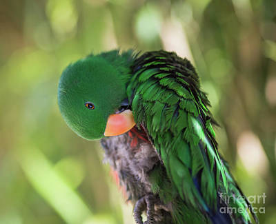 Photograph - Grand Eclectus by Eva Lechner