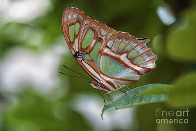 Photograph - Grand Green Butterfly  by Ruth Jolly
