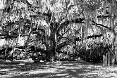 Photograph - Grand Live Oak Black And White by Carol Groenen