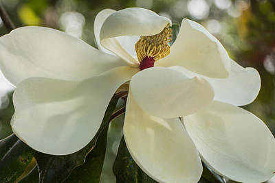 Photograph - Grand Magnolia  by Julie Andel