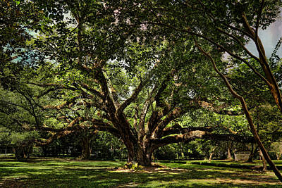 Photograph - Grand Oak Tree by Judy Vincent