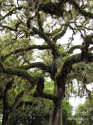 Photograph - Grand Old Oak Tree by D Hackett