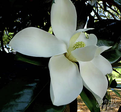 Photograph - Grand Southern Magnolia Blossom by D Hackett