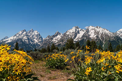 Teton Photograph - Grand Teton Arrow Leaf Balsamroot by Brian Harig