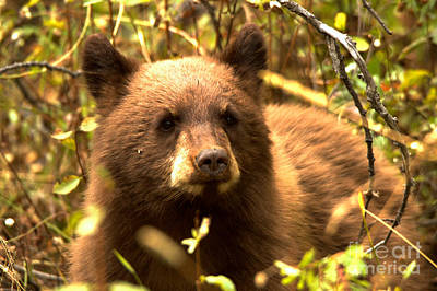 Photograph - Grand Teton Black Bear Cub by Adam Jewell