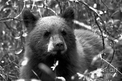 Photograph - Grand Teton Black Bear Cub Black And White by Adam Jewell