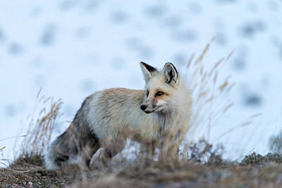 Photograph - Grand Teton Fox by Serge Skiba