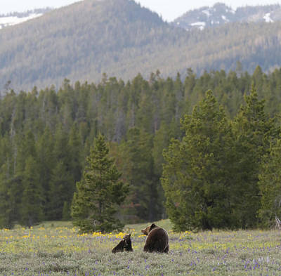 Photograph - Grand Teton Grizzly Bear With Cubs by Dan Sproul