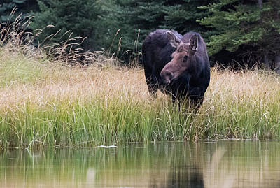 Photograph - Grand Teton Moose by Jennifer Ancker
