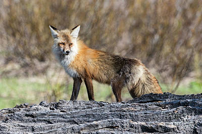 Photograph - Grand Teton National Park Female Fox by Tibor Vari