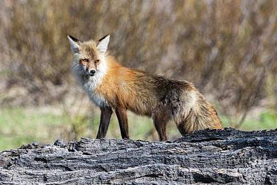 Photograph - Grand Teton National Park Female Fox by Tibor Vari