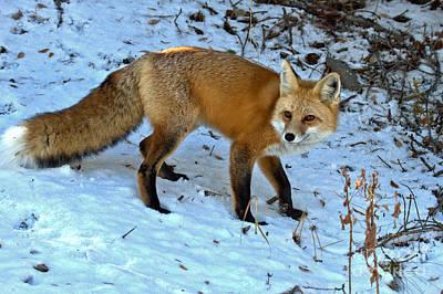 Photograph - Grand Teton Snow Fox by Adam Jewell