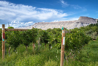White Grape Photograph - Grand Valley Wine Vineyards by Teri Virbickis