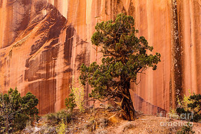 Photograph - Grand Wash Canyon With Juniper by Ben Graham