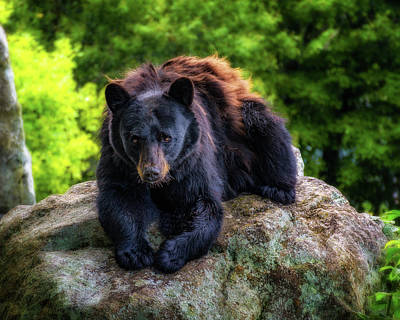Photograph - Grandfather Mountain Black Bear by Steve Hurt