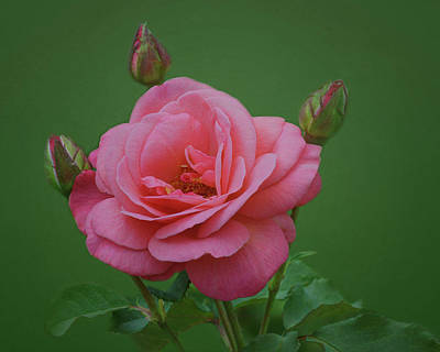 Photograph - Grandiflora Rose - Rosa Baisme by Nikolyn McDonald