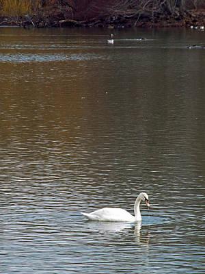 Photograph - Grant Park Swan 3 by Steve Breslow