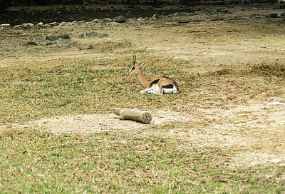 Photograph - Grants Gazelle Resting 1 by Douglas Barnett