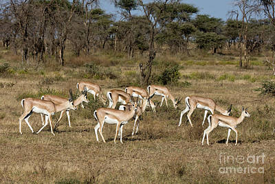 Photograph - Grants Gazelles by Chris Scroggins