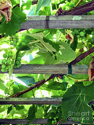 Photograph - Grape Arbor by Methune Hively