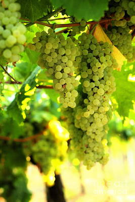 Photograph - Grape Bunches 3 by Angela Rath