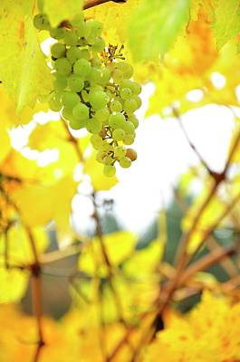 Photograph - Grape Cluster by Jerry Sodorff
