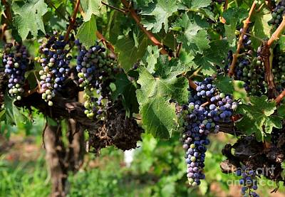 Photograph - Grape Clusters In Vineyard by Carol Groenen