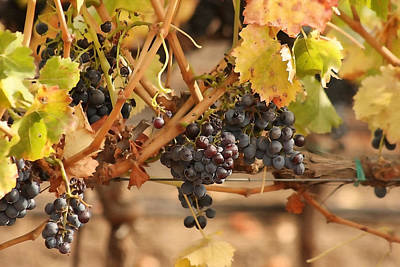 Central Coast Winery Photograph - Grape Harvest by Art Block Collections