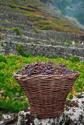 Grapevine Photograph - Grape Harvest by Gaspar Avila