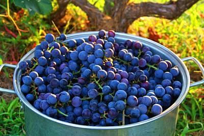 Photograph - Grape Harvest by Kathryn Meyer