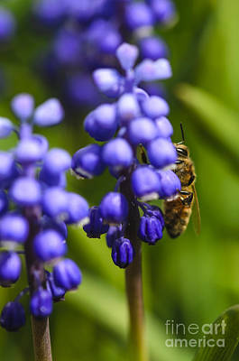 Photograph - Grape Hyacinth And Bee by Tamara Becker