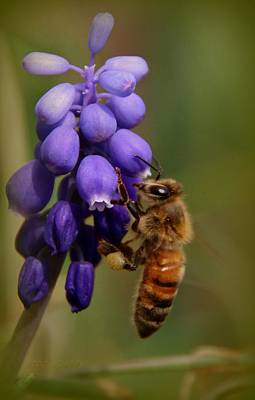 Photograph - Grape Hyacinth And Honeybee by Chris Berry