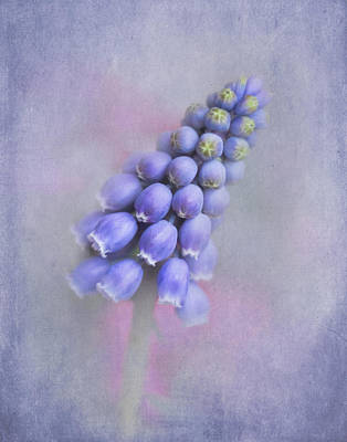 Grape Hyacinth Art Print by David and Carol Kelly