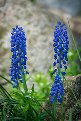 Photograph - Grape Hyacinth by Guy Whiteley