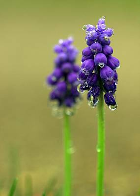 Photograph - Grape Hyacinth by Joseph Skompski