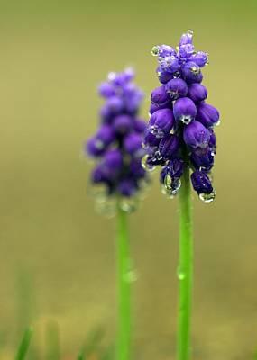 Photograph - Grape Hyacinth by Joseph Skompski