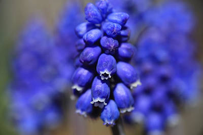 Photograph - Grape Hyacinth - Muscari by Donna Kennedy