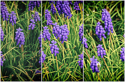 Photograph - Grape Hyacinth Triptych by Tikvah's Hope