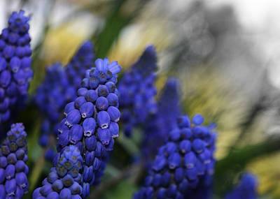 Purple Grapes Digital Art - Grape Hyacinths 2 by Richard Andrews