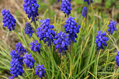 Photograph - Grape Hyacinths Family by Jennifer White