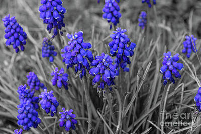 Photograph - Grape Hyacinths Family Select by Jennifer White