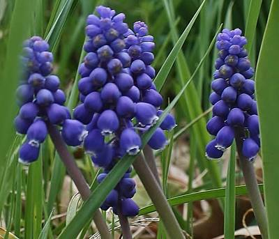 Photograph - Grape Hyacinths In Hiding by Bruce Bley