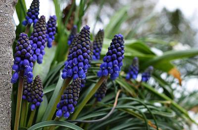 Purple Grapes Digital Art - Grape Hyacinths by Richard Andrews