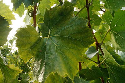 Grapeleaves Photograph - Grape Leaf by Beth Collins